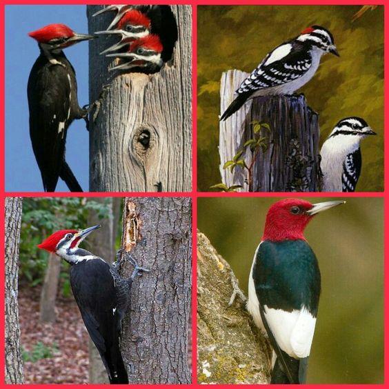 woodpeckercollage